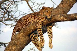 Leopard_Resting_on_Tree_600