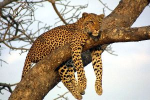 Leopard_Resting_on_Tree_600