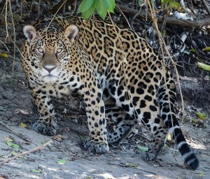 1024px-Jaguar_in_Pantanal_Brazil_1_(cropped)